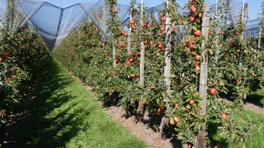 Apfelbäume mit Früchten